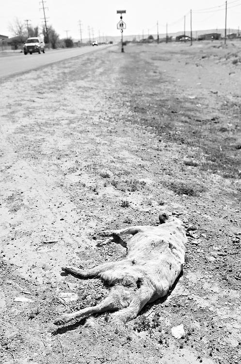 USA,Vereinigte Staaten von Amerika, New Mexico - Ein toter Hund liegt am Straßenrand und wird von Fliegen befallen |  USA ,United States,United States of America, A dead dog is lying in the sand at the side of a highway  in New Mexico |