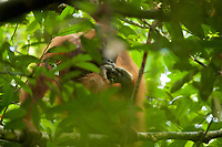 Bornean Orangutan <br />Wurmbii Sub-species<br />(Pongo pygmaeus wurmbii)<br /><br />Adult female Walimah, tending her severely injured foot.<br /><br />Gunung Palung Orangutan Project<br />Cabang Panti Research Station<br />Gunung Palung National Park<br />West Kalimantan Province<br />Island of Borneo<br />Indonesia