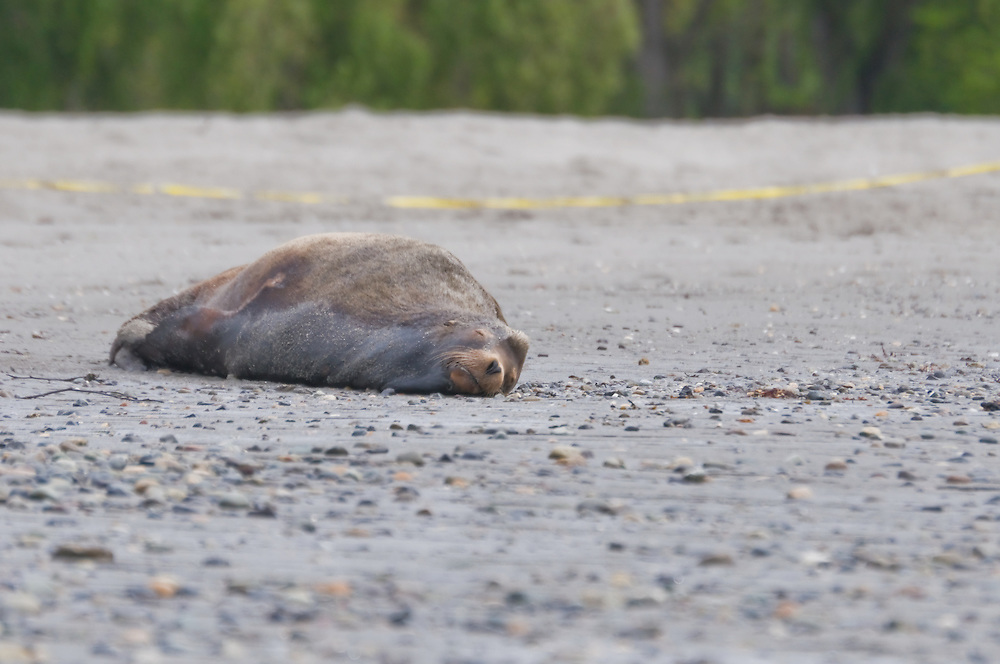 An injured California sea lion (Zalophus californianus) lies on the beach at Golden Gardens, Seattle unable to move; Monday, April 19, 2010. The injured animal was trapped by NOAA personal after it was deemed to weak to leave on it's own. (Photo/William Byrne Drumm)