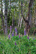Bigleaf Lupines (Lupinus polyphyllus) flowering in the forest at Elgin Heritage Park in Surrey, British Columbia, Canada