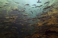Pink Salmon<br /> <br /> Fernando Lessa/Engbretson Underwater Photography