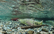 Chum Salmon (with Coho Salmon in Background)<br /> <br /> Paul Vecsei/Engbretson Underwater Photography