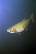 Steelhead Trout, Lake Superior, near Wolf RIver, WI<br /> <br /> Roger Peterson/ENGBRETSON UNDERWATER PHOTO