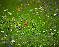 Wildflower Meadow. Image taken with a Nikon D850 camera and 200-500 mm f/5.6 VR lens.