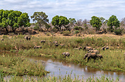 Herd of African elephants (Loxodonta africana) feeding in the marshland of Kruger NP, South Africa.