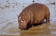 BT_Hippopotamus-Kenya_
