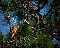 Hawk (ID?). Merritt Island National Wildlife Refuge. Image taken with a Fuji X-T2 camera and 100-400 OIS lens