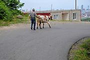 A farmer walks his cow in a street. Photographed in Batumi, Georgia