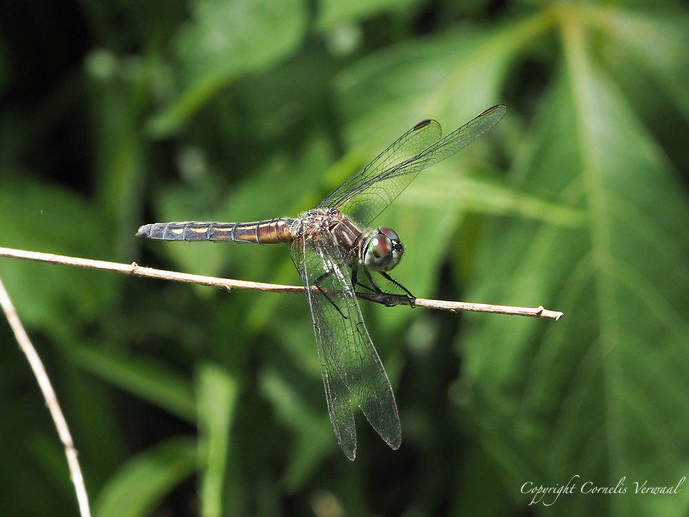 A Blue Dasher dragon fly in The Rable of Central Park
