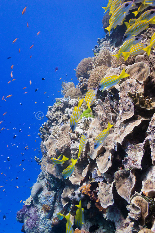 bluestripe snapper (lutjanus kasmira) over pachyseris foliosa coral on tropical coral reef - Agincourt reef, Great Barrier Reef, Queensland, Australia. <br /> <br /> Editions:- Open Edition Print / Stock Image