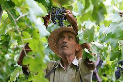 Colheita da Uva, na propiedade de Jurandir Possamai, no municipio de Bento Gonçalves, serra gaucha.FOTO: Jefferson Bernardes/Preview.com