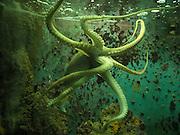 Octopus in an Aquarium