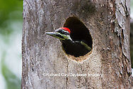 01194-00203 Pileated Woodpecker (Dryocopus pileatus) young at nest cavity, Marion County, IL