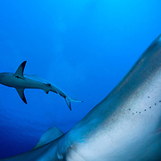 """Caribbean reef sharks (Carcharhinus perezi) are predators high on the food chain. Their presence in large numbers is a key indicator of a healthy ecosystem. *Note: This image is only for sale for Rights Managed or as a limited edition print. See my """"Limited Editions"""" under the PRINTS tab for more information or send me an email for a quote."""