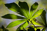 Parauapebas_PA, Brasil...Floresta Nacional de Carajas. Folha de embauba, arvore do genero Cecropia...The Carajas National Forest. The leaf of the tropical plant embauba, the tree of the generous Cecropia...Foto: JOAO MARCOS ROSA / NITRO