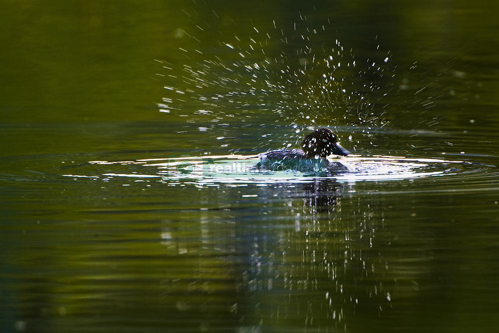 July 21, 2019 - Duck Splashing In The Water (Credit Image: © Richard Wear/Design Pics via ZUMA Wire)