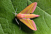 Moths - a nationalwide research is undergoing in Portugal, by a group of butterfly and moths specialists. Ecology, habitats, population dynamics and threats are subject of study, in a country still with much research to do. Several new species have been found, some new to Portugal, a few new even to science.