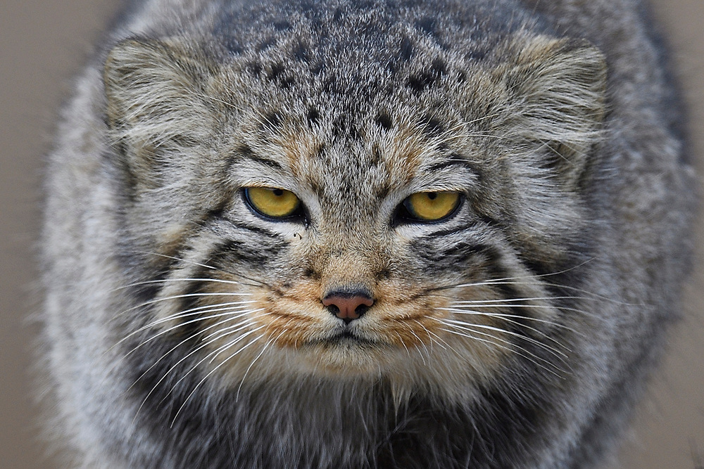 Pallas's cat (Otocolobus manul), also called the manul in a mountain landscape looking st the camera, Tibetan Plateau 5000 m asl, Qinghai, China