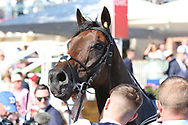 MUSTAJEER (17) ridden by Colin Keane and trained by Ger Lyons (IRE) in the Winners Enclosure after winning The Sky Bet Ebor Handicap over 1m 6f (£1,000,000) during the Ebor Festival at York Racecourse, York, United Kingdom on 24 August 2019.
