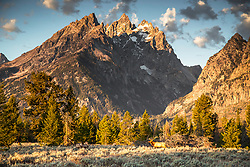 Head of elk below the craggy peaks of the Cathedral Group of the Teton Range in Grand Teton National Park.
