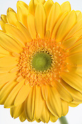 close up of a yellow gerbera flower