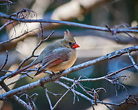 Female Northern Cardinal perched on a branch. Image taken with a Nikon D300 camera and 80-400 mm VR lens (ISO 400, 400 mm, f/5.6, 1/250 sec).