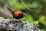 Tieke, Saddleback, on Tiritiri Matangi island, New Zealand. Largest of the arboreal insectivores in New Zealad's forest ecosystem, they're classed vulnerable. They're not shy. This one gave our yards to me for being anywhere near it's water bath! ....The recovery of the Saddleback is considered by many to be one of New Zealand's greatest conservation success stories.....There are two sub-species: North Island saddleback (Philesturnus carunculatus rufusater) and South Island saddleback (P.c.carunculatus). All saddlebacks are extinct on the mainland, and live either in captivity or on islands. The most endangered of the two species is the South Island saddleback, with only 650 birds in existence. There's several thousand North Island Saddlebacks now.