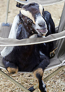 Cornwall, New York - A dairy goat relaxes on a chair at Edgwick Farm in Cornwall on April 15, 2012. The farm uses milk from the goats to produce artisan cheese.