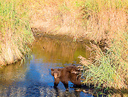 This punctual little black bear showed up every morning between 8 and 11 am and every evening between 6 and 9 pm at the salmon spawning grounds and viewing platform in Valdez, Alaska.