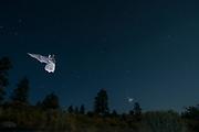 Bats (myotis sp) flying at night  in Central Oregon. © Michael Durham