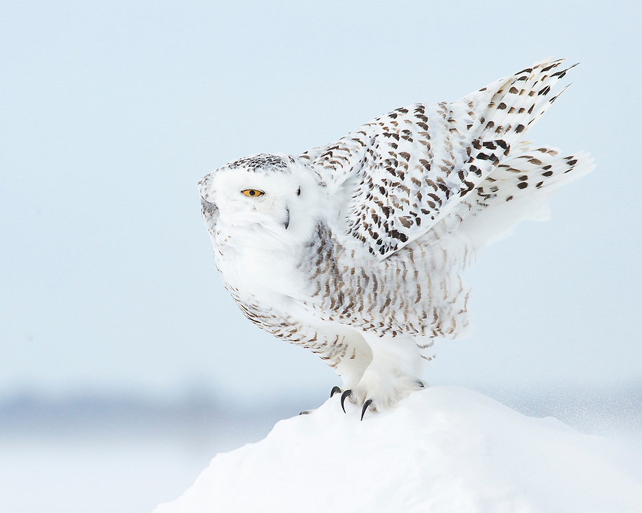 """Snowy owl landing on a snow bank.<br /> <br /> Available sizes:<br /> 14"""" x 11"""" print <br /> 14"""" x 11"""" canvas gallery wrap <br /> <br /> See Pricing page for more information. Please contact me for custom sizes and print options including canvas wraps, metal prints, assorted paper options, etc. <br /> <br /> I enjoy working with buyers to help them with all their home and commercial wall art needs."""