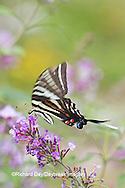 03006-00309 Zebra Swallowtail (Eurytides marcellus) on Butterfly Bush (Buddleia davidii) Marion Co., IL
