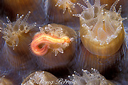 large star coral polyp, Montastrea cavernosa, <br /> devours polychaete worm while feeding at night<br /> Belize, Central America ( Caribbean Sea )