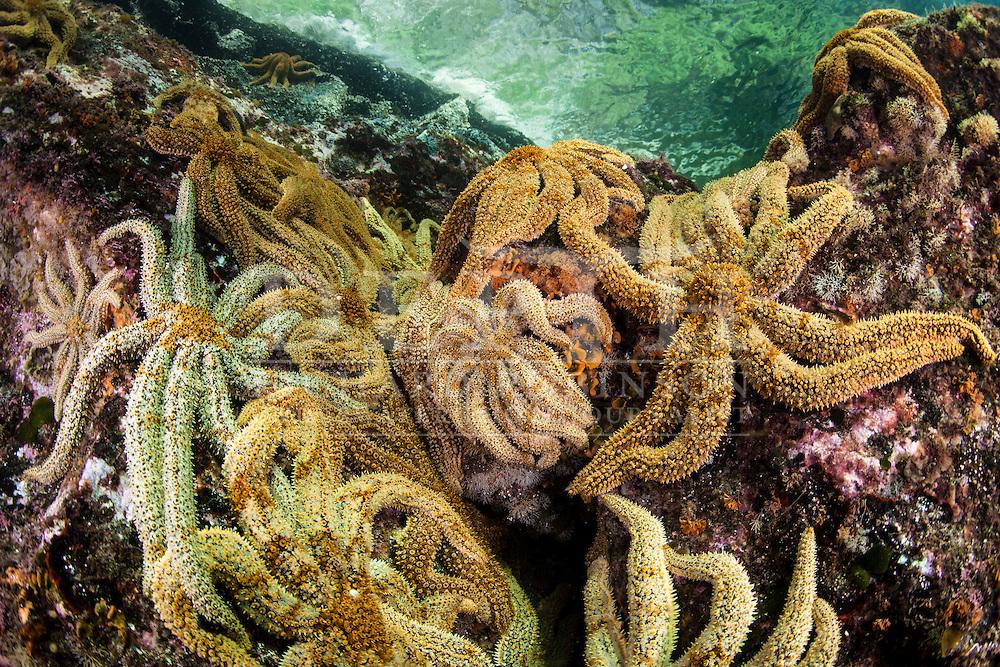 Coscinasterias calamaria (Eleven Armed Starfish)<br /> Saturday 05 April 2014<br /> Photograph Richard Robinson © 2014<br /> Dive Number: 516<br /> Site: Acheron Passage, Eastern Side, North of Wet Jacket Arm, Dusky Sound, Fiordland.<br /> Boat: Tutoko<br /> Dive Ian Skipworth<br /> Time: 14:37<br /> Temperature:  14.8<br /> Rebreather: Inspiration Vision. Total Time On Unit: 320:40 hh:mm<br /> Maximum Depth: 26.5 meters<br /> Bottom Time: 171 minutes<br /> Mix: 21<br /> CNS: 66%<br /> OTU: 62%<br /> Bottom Time to Date: 34,929 minutes<br /> Cumulative Time: 35,100 minutes