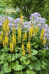 Ligularia przewalskii  AGM syn. Senecio przewalskii  in front of campanula in the summerhouse Border at Manor Farm House. Przewalski's golden ray