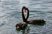 Two courting Australian black swans perform their mating ritual on Lake Eola in Orlando, Florida.