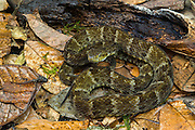 Common lancehead (Bothrops atrox)<br /> Amazon<br /> South East ECUADOR. South America<br /> Captive
