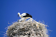 storks nesting on an electric pole Photographed in Armenia in June
