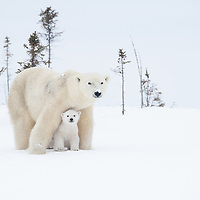 Polar bear mother with her three month old cub sitting in front between her legs intently surveying the area as they prepare to make the journey from Wapusk National Park to Hudson Bay.