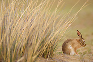 A Desert Hare, Lepus tibetanus, sitting on ground in Inner Mongolia, China