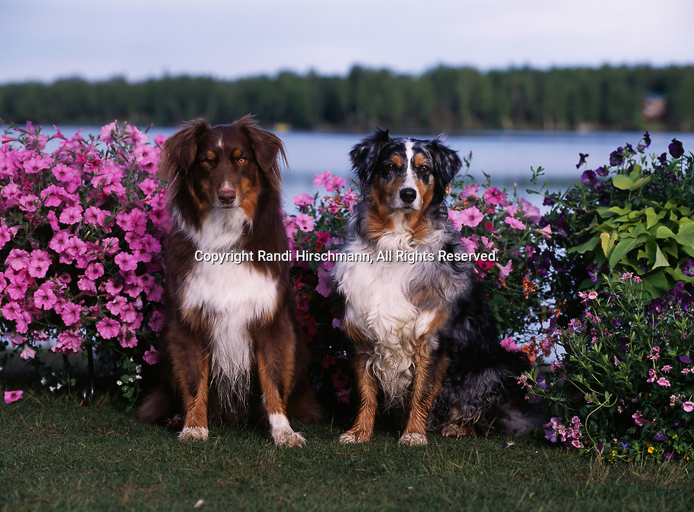 """Australian Shepherds, AKC, 3-year-old """"Stony"""" and 8-year-old """"Mattie"""" photographed at Lake Lucille and owned by Fred and Randi Hirschmann of Wasilla, Alaska.  (PR)"""