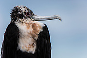 Great Frigatebird (Fregata minor) juvenile<br /> North Seymour Island<br /> Galapagos Islands<br /> ECUADOR.  South America