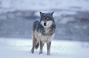 Timber or Grey Wolf, Canis Lupus, Minnesota USA, controlled situation, in snow, winter, standing alert, looking