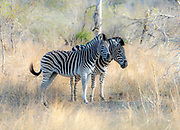 Two plains zebra (Equus quagga) in Kruger NP, South Africa.