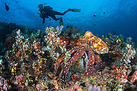 A Day Octopus hunts on a reef slope while a curious diver looks on.<br /> <br /> Shot in Indonesia