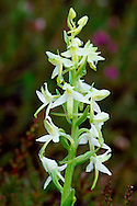 LESSER BUTTERFLY-ORCHID Platanthera bifolia (Orchidaceae) Height to 40cm. Attractive orchid of undisturbed grassland, moors and open woodland, on a wide range of soil types. FLOWERS are greenish white with a long, narrow lip, a long spur (25-30mm) and pollen sacs that are parallel; borne in open spikes (May-Jul). FRUITS form and swell at the base of the flowers. LEAVES comprise a pair of large oval leaves at the base and much smaller scale-like leaves up the stem. STATUS-Widespread but local.