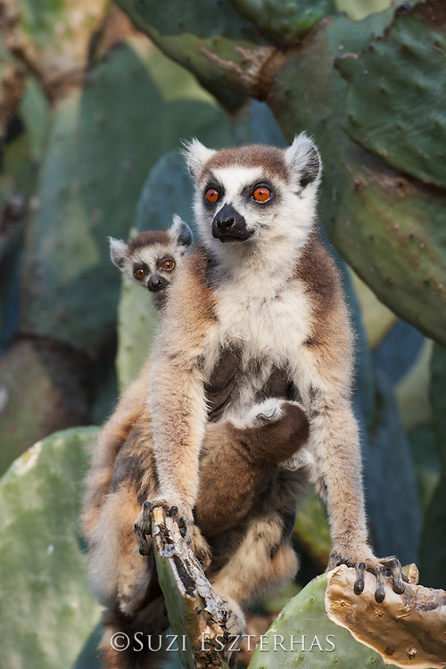 Ring-tailed Lemur<br /> Lemur catta<br /> Mother and 1-2 week old twins on cactus<br /> Berenty Private Reserve, Madagascar