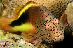 Paracirrhites forsteri, Gestreifter Korallenwaechter oder Forsters Bueschelbarsch, blackside or freckled hawkfish, Safaga, Rotes Meer, Ägypten, Red Sea Egypt