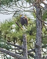 Bald Eagle (Haliaeetus leucocephalus). Black Point Wildlife Drive, Merritt Island Wildlife Refuge. Merritt Island, Brevard County, Florida. Image taken with a Nikon D3x camera and 300 mm f/2.8 VR lens and 2.0x TCE-II teleconverter.