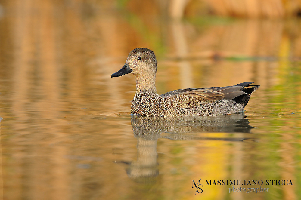 The Gadwall (Anas strepera) is a common and widespread duck of the family Anatidae.The Gadwall is 46-56 cm (18-22 in) long with a 78-90 cm (31-35 in) wingspan. The male is slightly larger than the female, weighing on average 990 g (35 oz) against her 850 g (30 oz).The breeding male is patterned grey, with a black rear end, light chestnut wings, and a brilliant white speculum, obvious in flight or at rest. In non-breeding (eclipse) plumage, the drake looks more like the female, but retains the male wing pattern, and is usually greyer above and has less orange on the bill...The female is light brown, with plumage much like a female Mallard. It can be distinguished from that species by the dark orange-edged bill, smaller size, the white speculum, and white belly.[4] Both sexes go through two moults annually, following a juvenile moult.